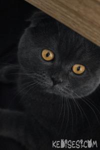 Scottish Fold Cinsi Kedi