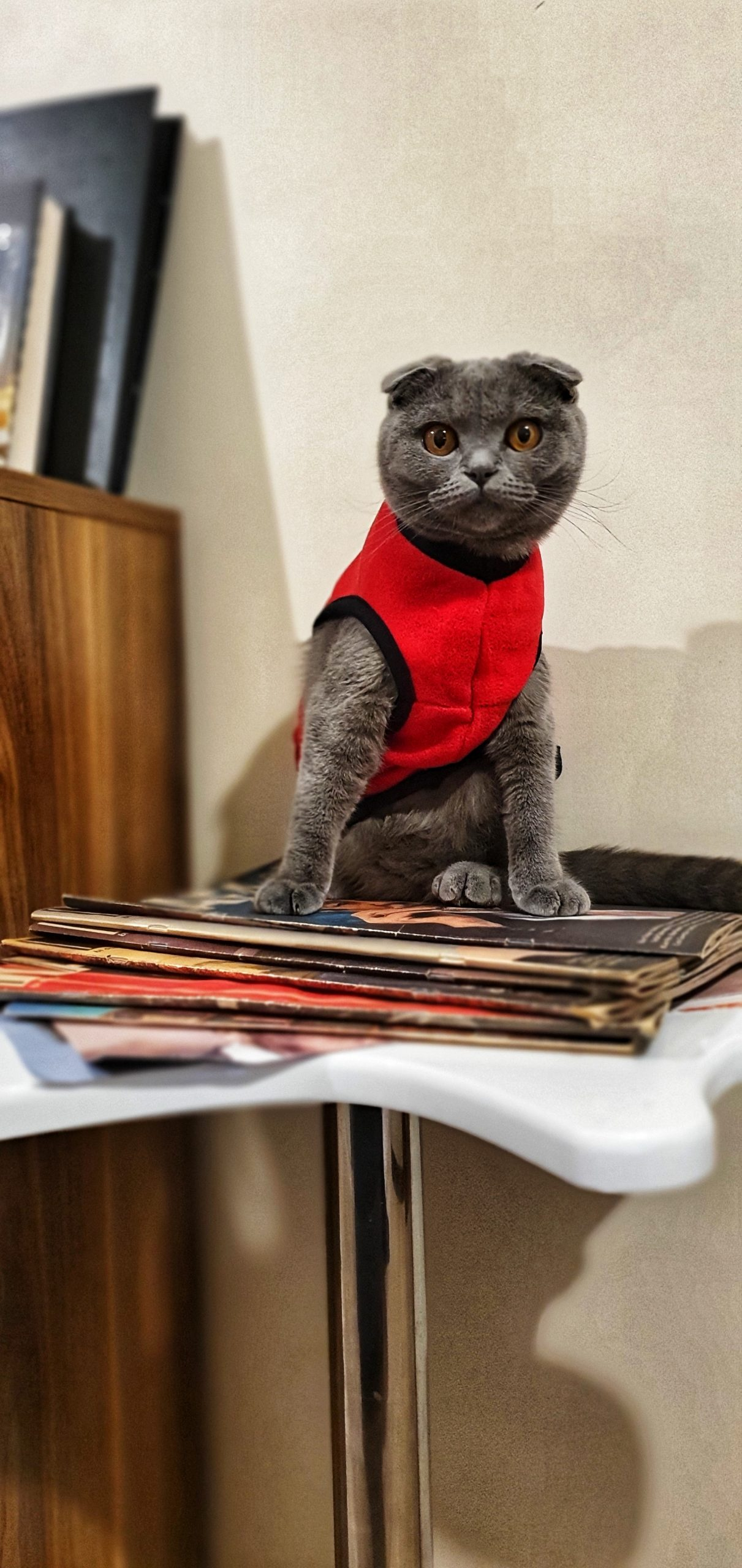 Scottish Fold Kedi İle Oyun