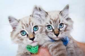 Ragdoll Cinsi Kedi