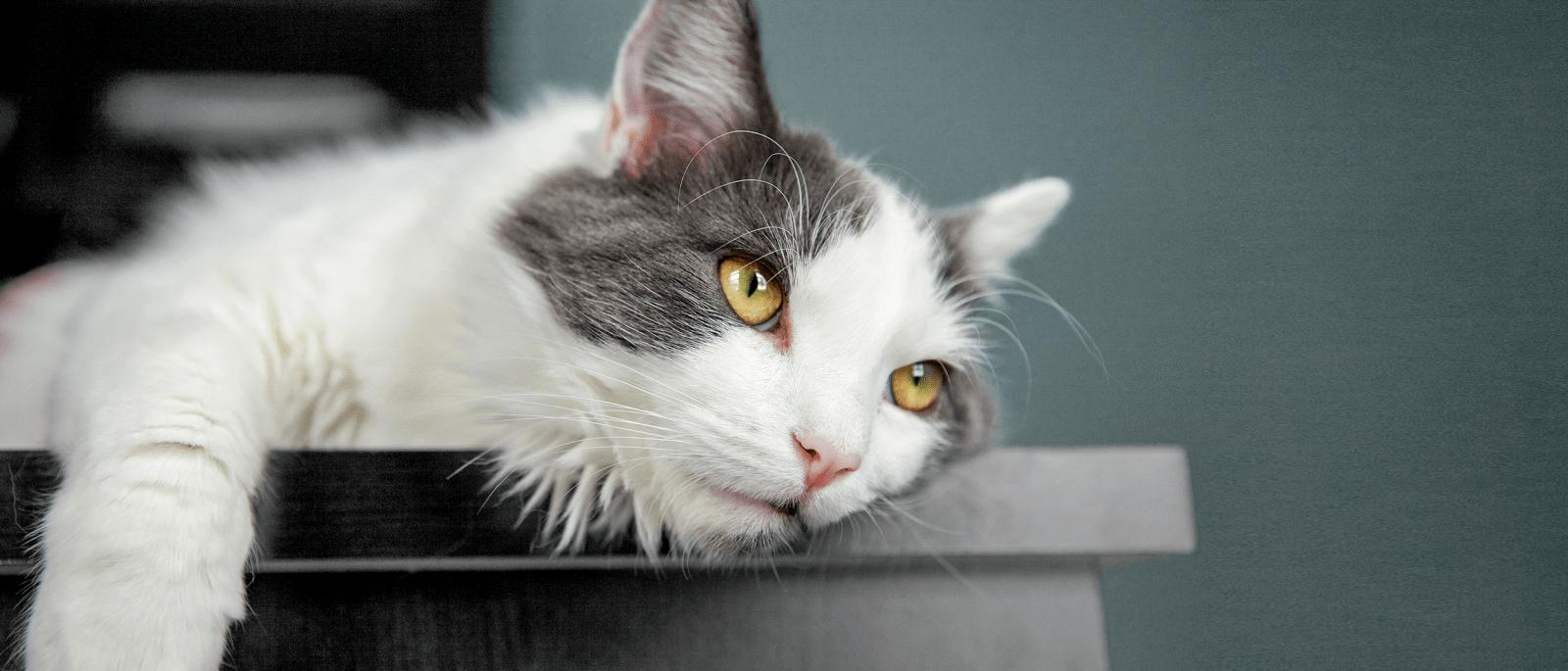 Kedi Enfeksiyöz Peritoniti (FIP Hastalığı)