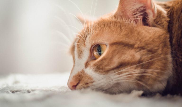 Kedilerde Nefes Darlığı Belirtileri ve Tedavisi
