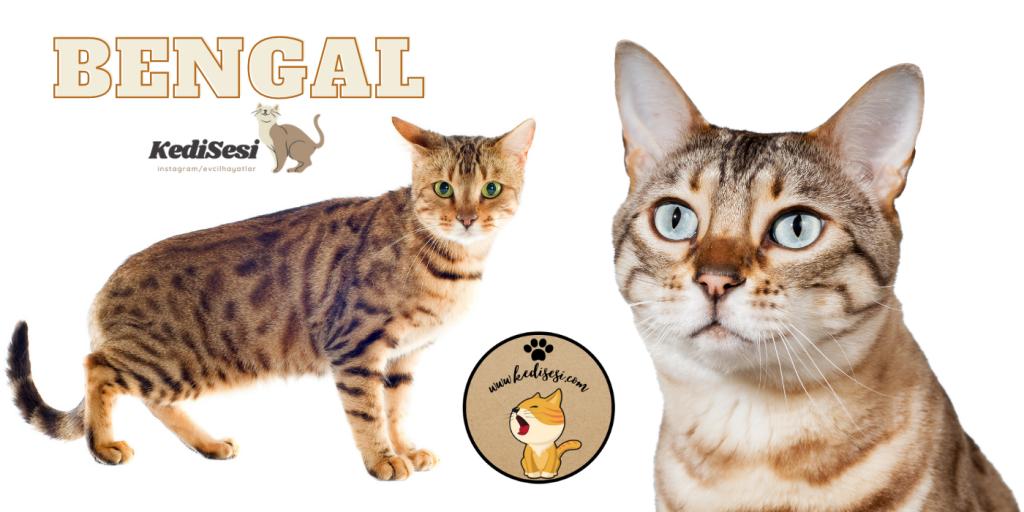 Bengal Cinsi Kedi