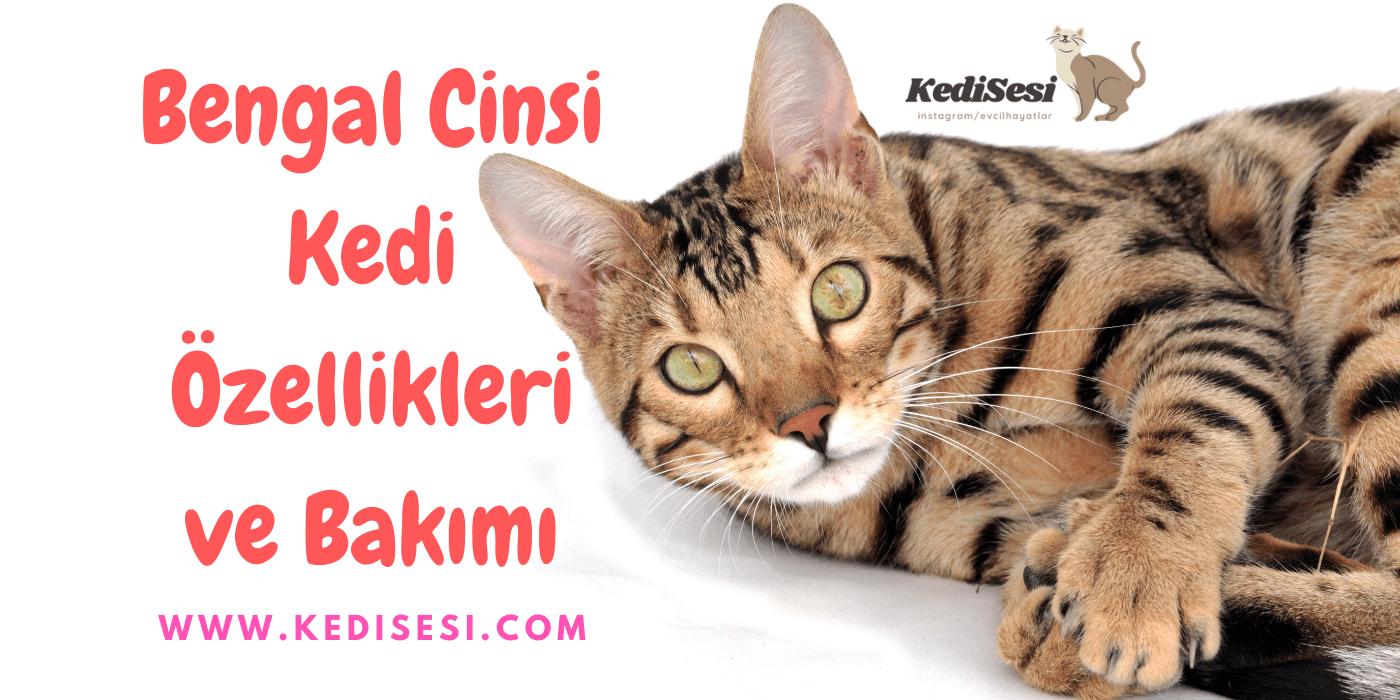 Bengal Cinsi Kedi Özellikleri ve Bakımı