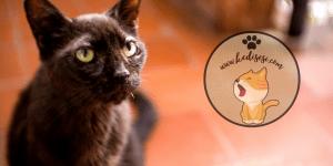 Kedilerde Şeker Hastalığı