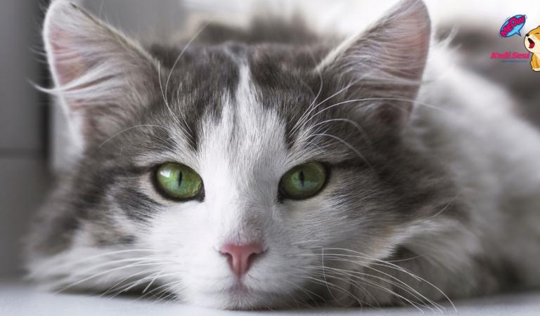 Kızgınlığa Giren Dişi Kedi Nasıl Sakinleştirilir?