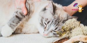 Kedilerde Eklem Ağrısı Ve Belirtileri