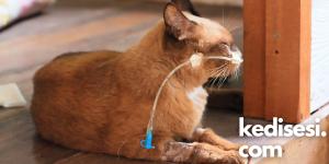 Kedilerden İnsanlara Geçen Hastalıklar Nelerdir?