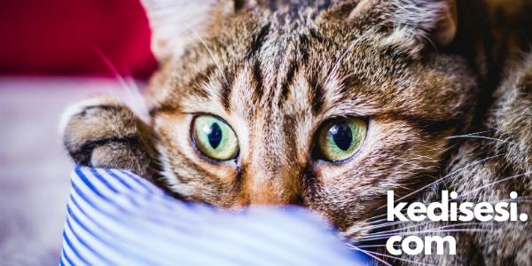 Kedilerde Kırılgan Deri Sendromu Nedir?