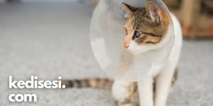 Kedileri Kısırlaştırmak Ömürlerini Uzatır mı?