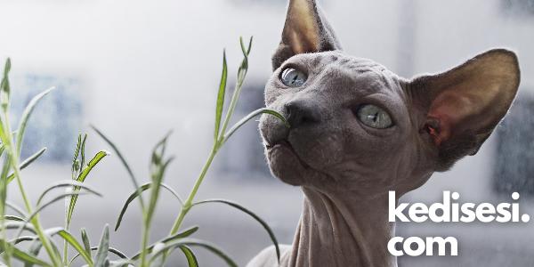 Kedi Parfümü Kullanmak Doğru mu?
