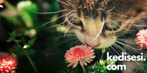 Kedi Maltı Nedir?
