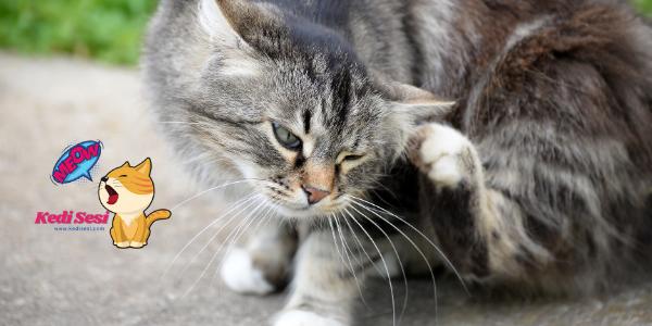 Kedi Pire Tasması Hakkında Bilgiler