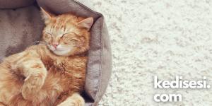 Kedilerde Görülen Beyin Hastalıkları