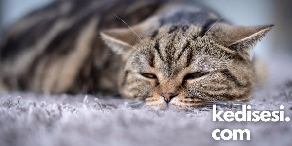 Kedilerde Görülen Ölümcül Hastalıklar