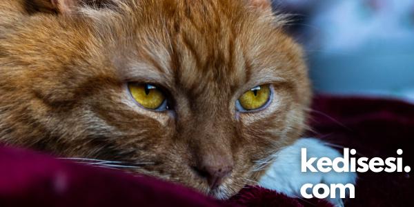 Kedilerin Yaşlandığını Nasıl Anlarız?