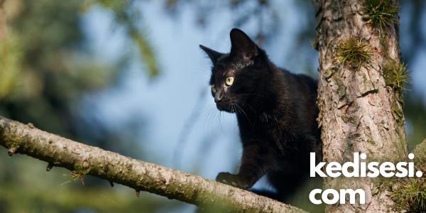 Kediler Her Zaman Dört Ayak Üstüne Düşer mi?