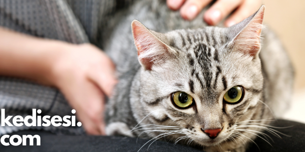 Kediler Sahiplerini Gerçekten Seçer mi?