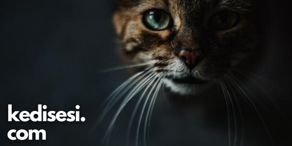 Manx (Manks) Kedisi Özellikleri ve Bakımı