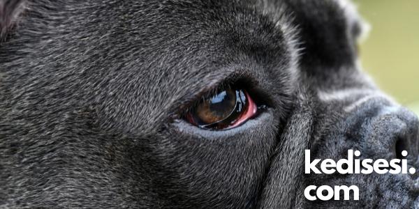 Köpeklerde Göz Enfeksiyonu Neden Olur?