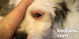 Köpeklerde Göz Enfeksiyonu Çeşitleri Nelerdir?