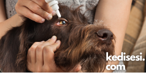 Köpeklerde Göz Enfeksiyonu Tedavi Edilmezse Ne Olur?