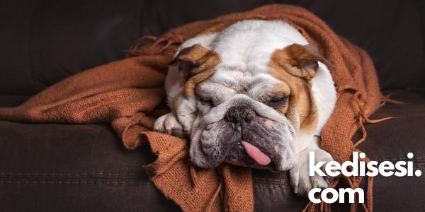 Köpeklerde Neosporosis Hastalığı ve Belirtileri