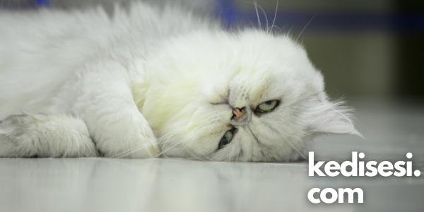 Kediler Neden Horlar? Hastalık Belirtisi Midir?