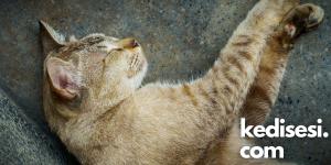 Kedilerin Horlaması Her Zaman Hasta Oldukları Anlamına Gelmez