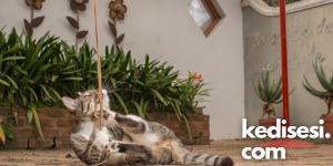 Kedilerin İplerle Oynamasının Sebepleri