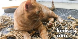 Kediler İplerle Oynamayı Neden Sever?