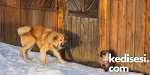 Kediler Neden Köpekleri Kovalar?