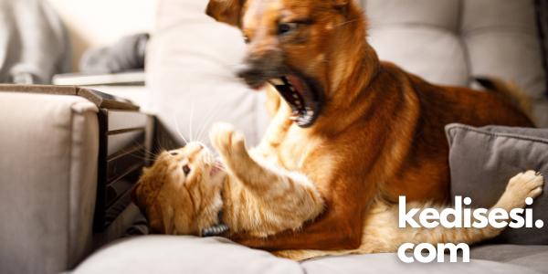 Kediler Köpeklere Neden Saldırır?