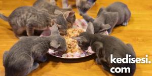 Kedilerde Gıda Alerjisi Problemi Nasıl Çözülür?