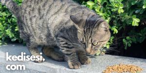 Kediniz İştahsızsa Ne Yapabilirsiniz?