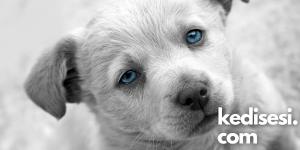 Köpeklerde Mavi Göz Hastalığı