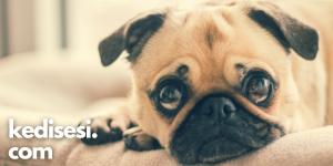 Köpekler Neden İç Çeker?