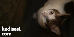 Kedilerin Gözleri Zifiri Karanlıkta Parlar mı?