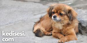 Pekinez Cinsi Köpek Özellikleri