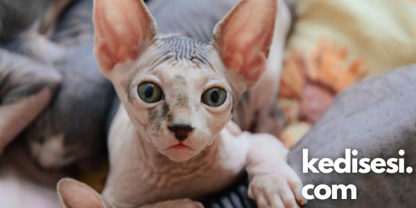 Sfenks Kedisi (Tüysüz Kedi) Fotoğrafları