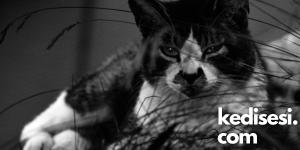 Sokak Kedilerinin Ömürleri Neden Kısa Olur?