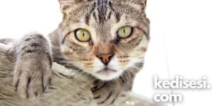Tekir Kedi Türleri