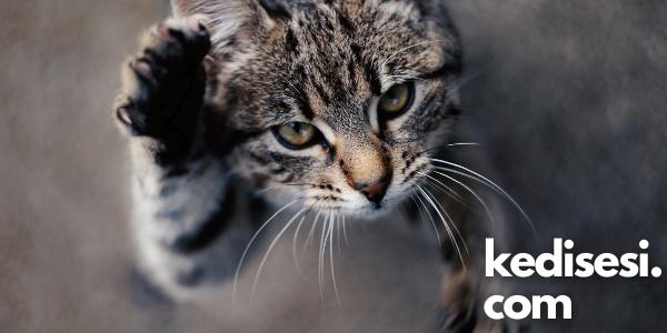 Tekir Kedi Türleri Nelerdir?
