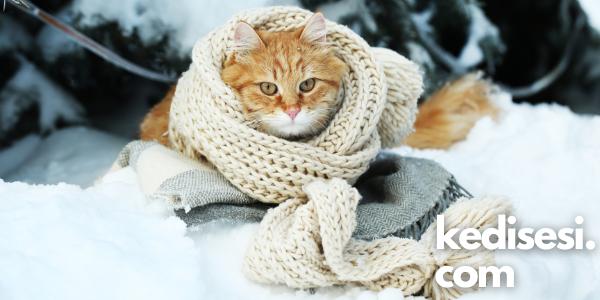 Kediler Üşür mü? Üşüdüklerini Nasıl Anlarız?