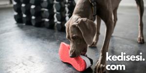 Köpeklerin Ayakkabılar İle Oynamasının Sebepleri