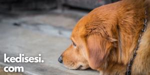 Köpeklerin Depresyona Girdiği Nasıl Anlaşılır?