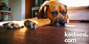 Köpeklerin Depresyona Girme Sebepleri