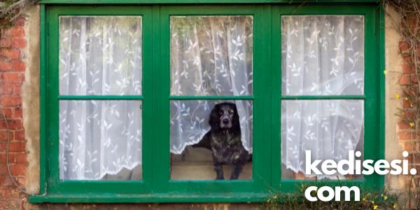 Köpekler Evde Yalnız Kalabilir mi?