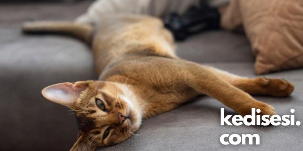 Habeş Kedisi Özellikleri ve Bakımı
