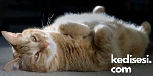 Kedilerin Karınlarına Dokununca Kızmalarının Sebepleri