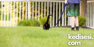 Ev Kedisini Tasma Takarak Dışarıda Gezdirebilir miyiz?